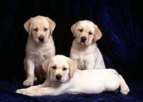 English Beagle Puppy